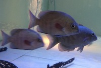 4 pin stripe damba rare fish Hampshire � now spawning