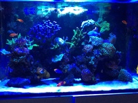 SPS and LPS coral colonies for sale with livestock