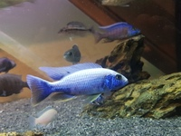 Sciaenochromis fryer snow white brreding trio