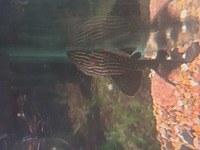 L091 royal pleco 5 inches �