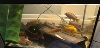 11 Cichlids for Sale in Romford