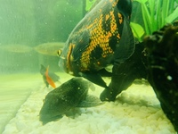 2x Red tiger Oscar Cichlids for sale 6 and 8 inch