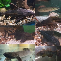 Various predator oddball and L number pleco for sale