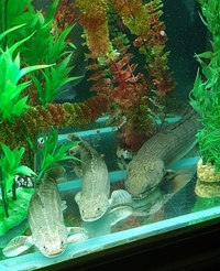Polypterus for sale