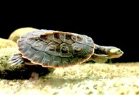 MUSK TURTLES X 2, PINK BELLIED SIDE NECKED TURTLES X4