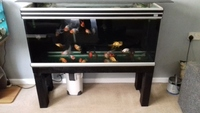 4ft fish tank .with 22 fancy goldfish