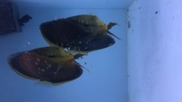 Proven breeding pair of discus super red flame