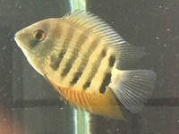 Red Shoulder Severum. Approx 8cm �