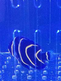 Cortez Angelfish For Sale