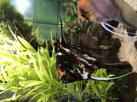 3 large Angelfish � each