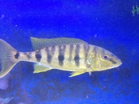 boulengerochromis microlepis wild pair emperor cichlid