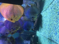 Top quality discus for sale