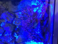 4 Rose Bubble tip anemone with rare green base Swindon
