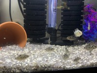 Convict Cichlids and various african cichlids