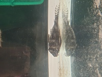 Malawi Juveniles for sale west yorkshire