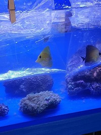 Marine fish / Rare yellow Scopas tang feeding well