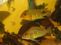 0.5inch(2 cm) GEOPHAGUS SP.RED HEAD TAPAJOS x 20--�each or 2 for �or 6 for � or 10 for � in Leeds