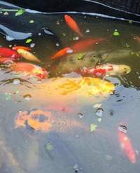 Pond fish for sale, reasonable offers only