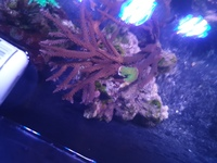 SPS CORAL COLONIES FOR SALE