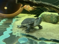 Two musk turtles � each Ono