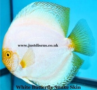 "Discus fish for sale from ONLY £22 each for 3-3.5""and over 5,000 top quality Discus to choose from and the biggest selection in the U.K. Cheapest prices guaranteed."