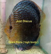 Discus fish for sale 10 Discus for �0 and over 5,000 top quality to choose from and the biggest selection in the U.K. Cheapest prices guaranteed.