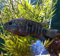 American CIchlid Fish for sale