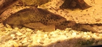 MUST GO ASAP---L231 Hypostomus sp -- 4-5 inch pair --ono � or make me an offer in Leeds