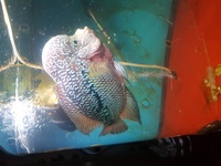 Mp male king kamfa 10 inches female AAA king kamfa 10 inches �0 for both
