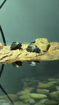 2 baby musk turtles and full tank set up �0