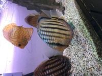 Wild Royal Nhamunda discus - 8inch - brought from Chen's