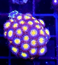 Coral and high end zoas for sale