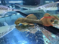 LAST 1P EBAY AUCTIONS NO RESERVE AROWANA STINGRAY PLECO FLOWERHORN CATFISH MBU FINISH MONDAY NIGHT
