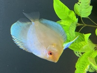 3 x Discus for sale
