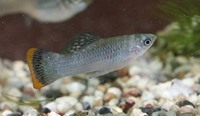 NOW SOLD---Very rare---�5 each or � for 9(3m/6f) to clear out---3 inch(PAIRS AVAILABLE)-Poecilia Mexicana Campeche(Mexican Molly)---in Leeds