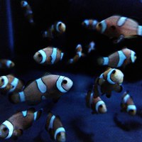 Common Clownfish - Saltwater - TIPTON - DY4 area.