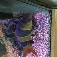 large Crown Loaches for sale