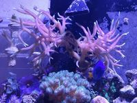 Coral Frags - Birds nest, Red Montipora, Pussy Coral