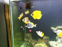 Large number of marine fish for sale, Angels butterflies and tangs