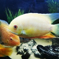Beautiful Golden Severum
