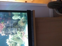 Volitions lionfish...large around 7inch REDUCED �