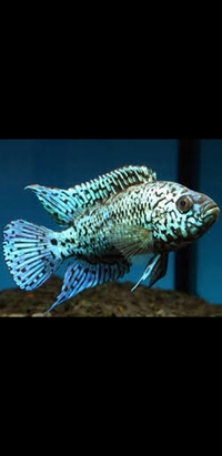 Wanted Electric blue Jack Dempsey