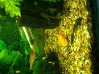 Fully Grown Breeding trio Lemon Bristlenose (not albino)