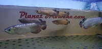 PURE BREED AROWANA CROSSBACK WILD BLOODLINE