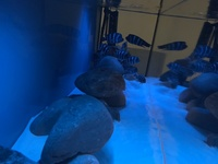 Wild Frontosa Moba Blue Zaire Breeding Group Full Setup With High Gloss 8ft Aquarium