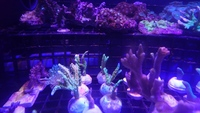 Coral Frags - various Montis plus Kenya trees