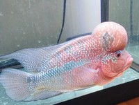 8+ inches MALE SUPER RED Flowerhorn CICHLID FISH �