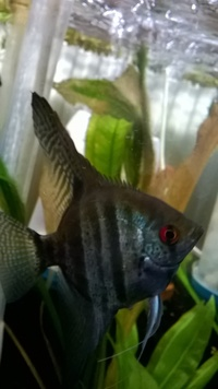 Large adult fresh water Angel fish �