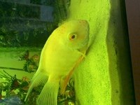 Gold Severum- Leicester pick up