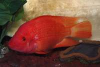 10 inches (m) RED DEVIL Amphilophus Labiatus (Incredibly Deep Red Colours)